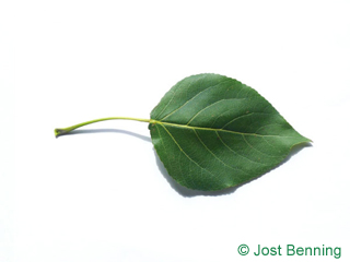The triangular leaf of Carolina Poplar