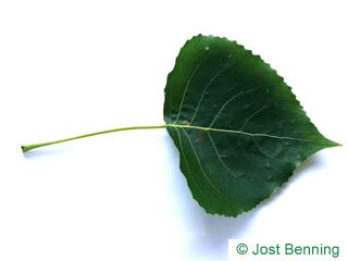 The triangular leaf of Black Poplar