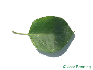 The ovoid leaf of Mahaleb Cherry