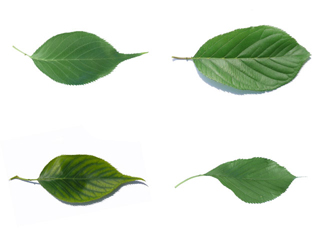 The ovoid leaf of Prunus serotina varieties
