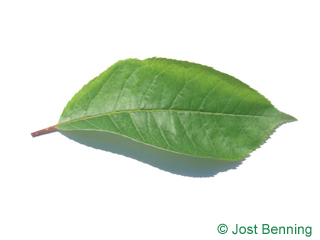 The ovoid leaf of Bitter Berry