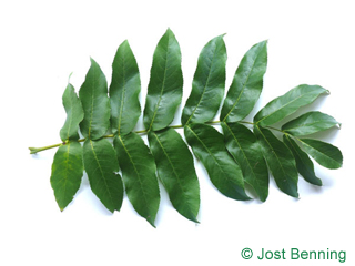 The compound leaf of Caucasian Wingnut