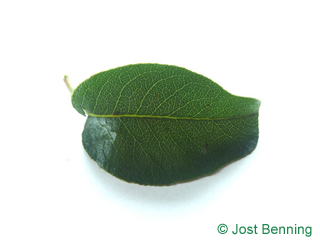 The ovoid leaf of Pear