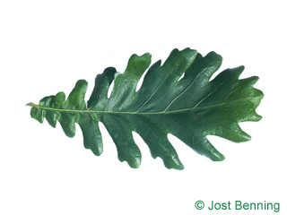 The sinuate leaf of Hungarian Oak