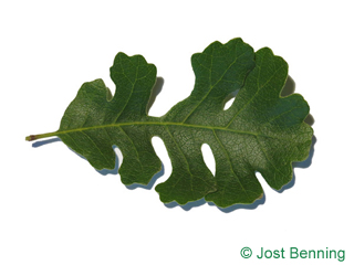 The sinuate leaf of Valley Oak