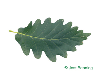 The sinuate leaf of Caucasian Oak