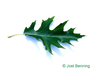 The sinuate leaf of Pin Oak