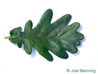 The sinuate leaf of English Oak