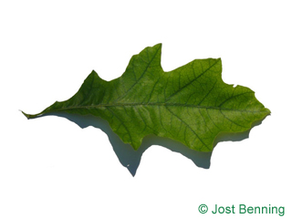 The sinuate leaf of Shumard Oak