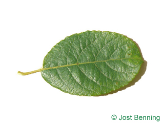 The ovoid leaf of Goat Willow