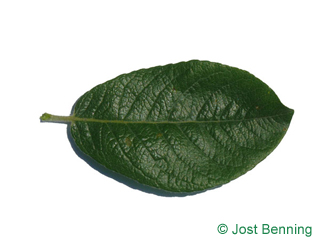 The ovoid leaf of Dune Willow