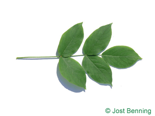 The compound leaf of Bumald Bladdernut
