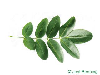 The compound leaf of Pagoda Tree