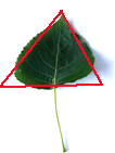 triangular leaf here black poplar