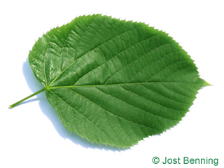 The heart-shaped leaf of Large Leaved American Lime