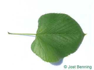 The heart-shaped leaf of American Lime
