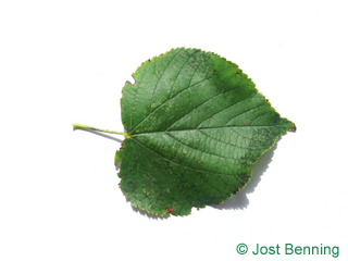 The heart-shaped leaf of Small Leaved Lime