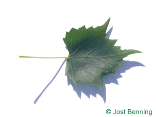 The lobed leaf of Mongolian Lime