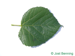 The heart-shaped leaf of Large Leaved Lime