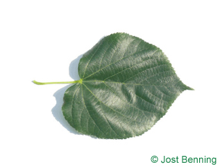 The heart-shaped leaf of Caucasian Lime