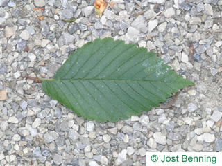 The ovoid leaf of American Elm