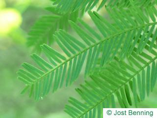 The compound leaf of Silver Wattle