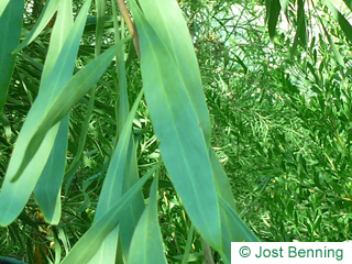 The lanceolate leaf of Water Wattle