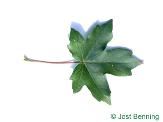 The lobed leaf of Field Maple