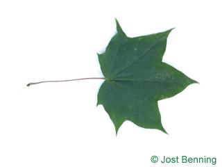 The lobed leaf of Cappadocian Maple