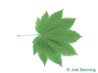 The lobed leaf of Vine Maple