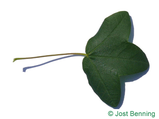 The lobed leaf of Montpellier Maple