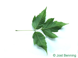 The compound leaf of Boxelder