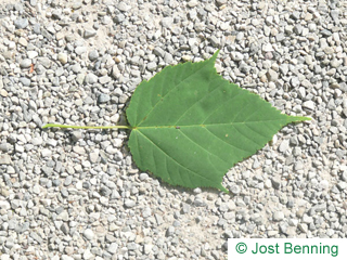 The ovoid leaf of Snake Bark Maple