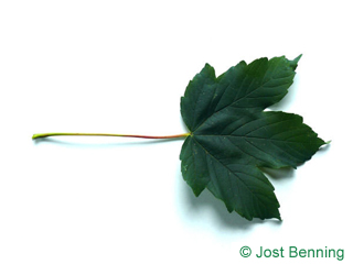 The lobed leaf of Sycamore Maple
