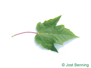 The lobed leaf of Red Maple