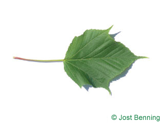 The lobed leaf of Redvein Maple