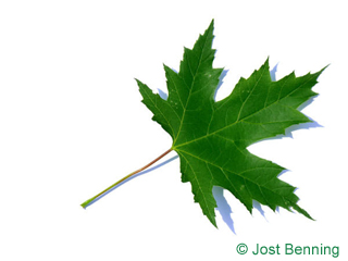 The lobed leaf of Silver Maple