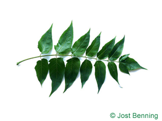 The compound leaf of Tree Of Heaven