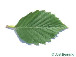 The ovoid leaf of Grey Alder