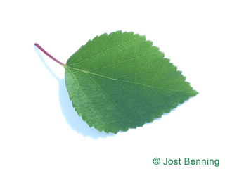 The ovoid leaf of Blue Birch