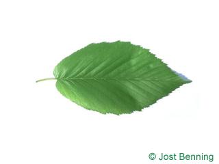 The ovoid leaf of Black Birch