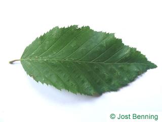 The ovoid leaf of European Hornbeam