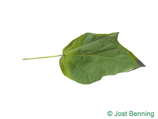 The lobed leaf of Red-Leaved Indian Bean Tree