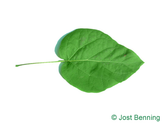 The heart-shaped leaf of Northern Catalpa