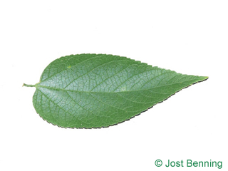 The ovoid leaf of Common Hackberry