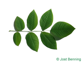 The compound leaf of Kentucky Yellowwood