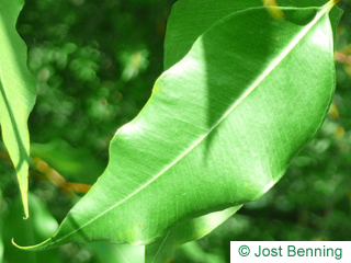 The lanceolate leaf of Spotted Gum