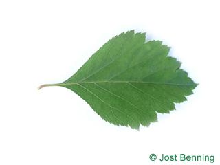 The ovoid leaf of Douglas Hawthorn