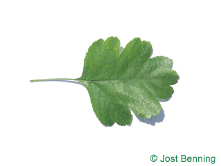 The ovoid leaf of Redthorn