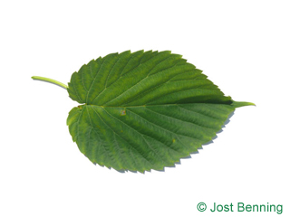 The ovoid leaf of Handkerchief Tree